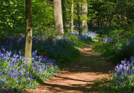 A path through a bluebell wood at the height of its bloom with dappled light and long shadows. Photo has short depth of field.