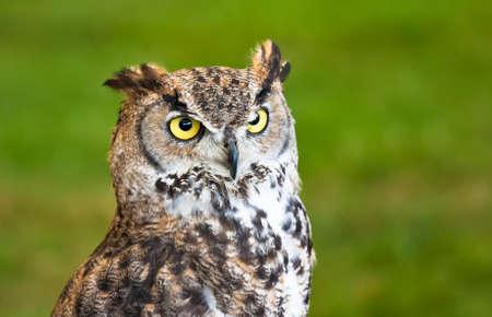Closeup of a brown owl against a grassy background. Standard-Bild