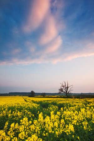 Spring sunset over a field of oilseed rape / canola.