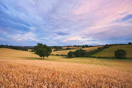 Sunset over a field of wheat with a lone poppy at sunset. Photo taken in Warwickshire, England, in summer.