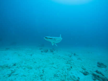 A curious Remora fish in the waters near Playa del Carmen. Banco de Imagens