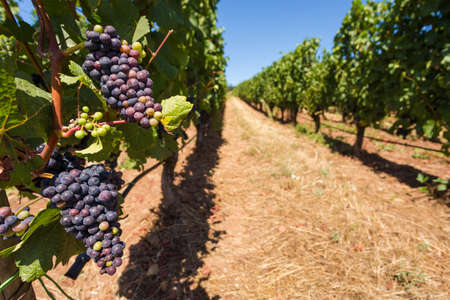 Red wine grapes growing on rows of vines at a Willamette Valley winery.