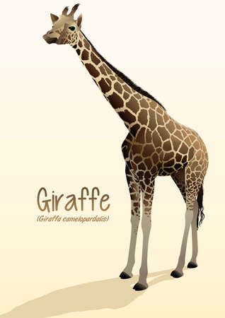 camelopardalis: Realistic giraffe illustration standing with shadow .