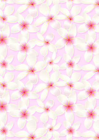 pink plumeria: White frangipani flowers on a pink background .