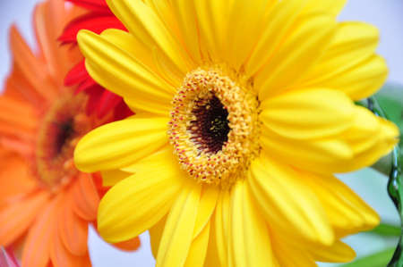 gerbera daisy flowers photo