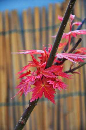 pigmy: red japanese maple Stock Photo