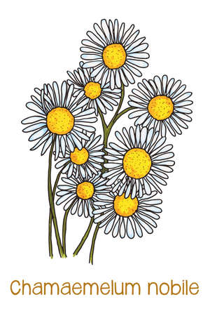 camomiles macro: abstract illustration of camomile flowers
