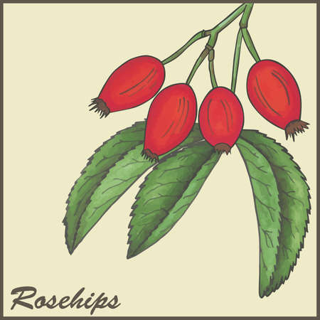 rosa: vintage background with Rosehips Illustration