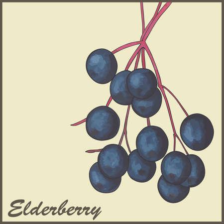 elder: vintage background with Elderberry