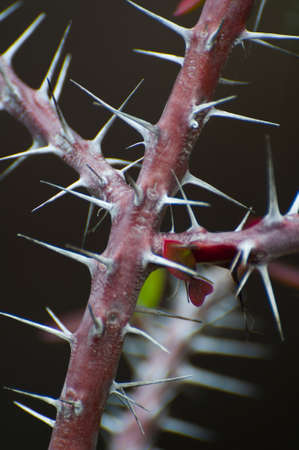 trees with thorns: wild rose thorns
