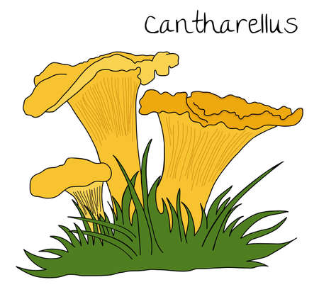 illustration of Chanterelle over white background Vector