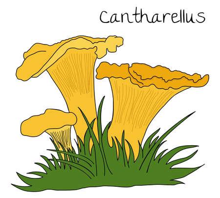 chanterelle: illustration of Chanterelle over white background