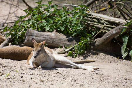 agile: Australian Agile Wallaby (Macropus agilis) Stock Photo