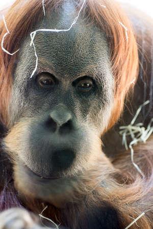 hominid: Red borneo orangutan (Pongo pygmaeus)