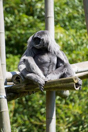 Silver gibbon (Hylobates moloch) sitting on a branch.