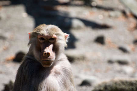 baboon: Hamadryas Baboon (Papio hamadryas)