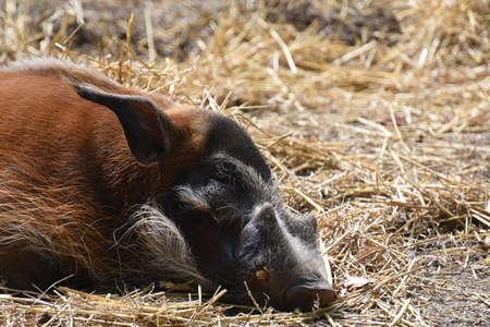 hog: Red River Hog  (Potamochoerus porcus)