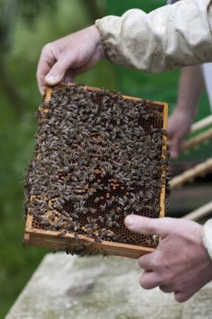 abeja reina: Apicultor con las abejas Foto de archivo