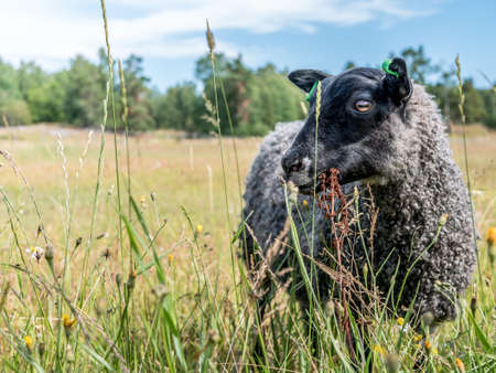 Black sheep eating grass. Grey colored wool lamb, organic farm. Stock Photo - 92221626