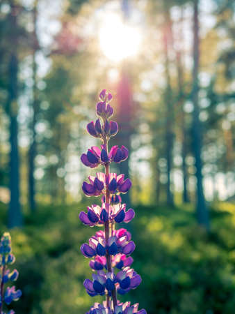 Purple lavender flower in  direct sunlight. Green forest in background. Stock Photo