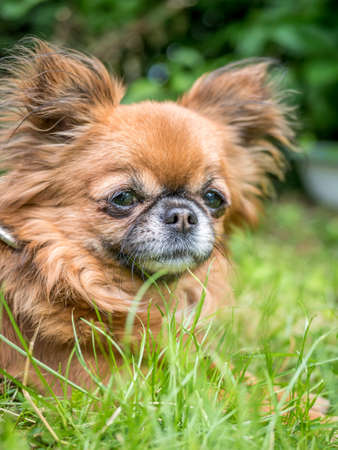 Cute light brown chihuahua dog lying down in grass