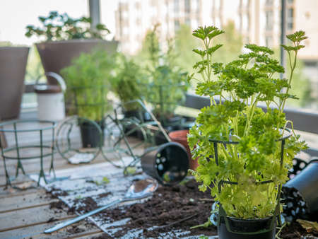 Gardening on the balcony. Planting herbs, flowers and plants at home. Zdjęcie Seryjne - 92212408