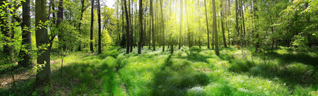 Panoramic image of a forest at sunrise