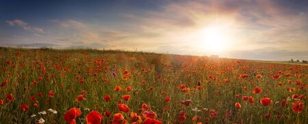 Panoramic view of field of poppies at sunrise