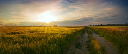 Panoramic view of the sunset at the field of wheat