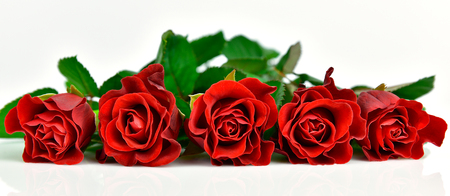 Panoramic view of red roses. White background
