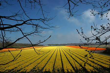 Field of yellow tulips that stretch to the horizon. photo