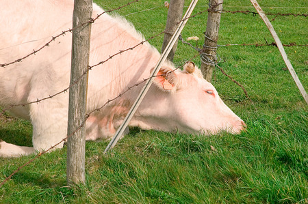 cattle wire: Cow trying to escape and eat fresh grass