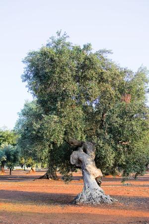 Olijfboom in Apulië platteland (Italië) Stockfoto