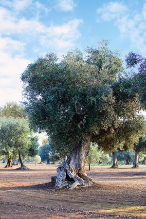 apulia: Olive tree in apulia countryside (Italy) Stock Photo
