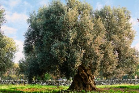 Olive tree in apulia countryside (Italy) Stockfoto