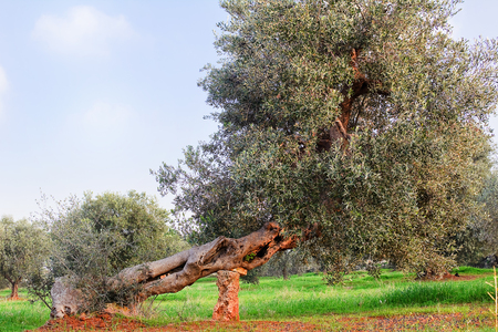 Olive tree in apulia countryside (Italy) 版權商用圖片
