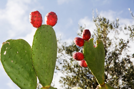 prickly: Prickly pear in Apulia (Italy)