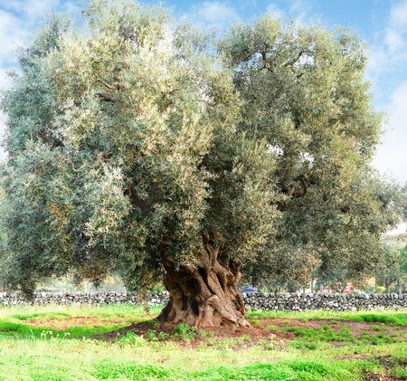 Olive tree in apulia countryside (Italy)