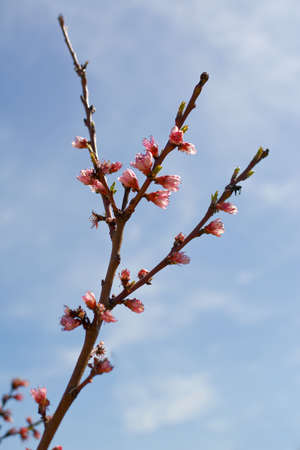 peach tree: Branch of peach tree with buds