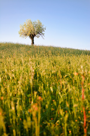 pear tree: Pear tree alone on hill in the spring