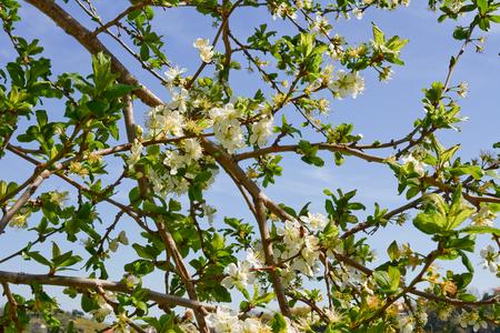 cherrytree: Cherry blossom with blue sky