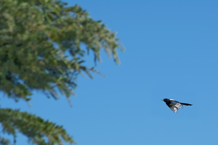 Common magpie flying toward the tree