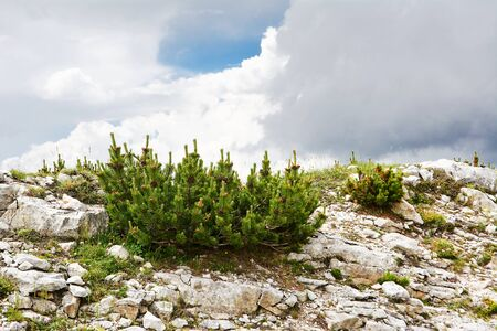 mugo: Pinus mugo caracteristic in mountain Stock Photo