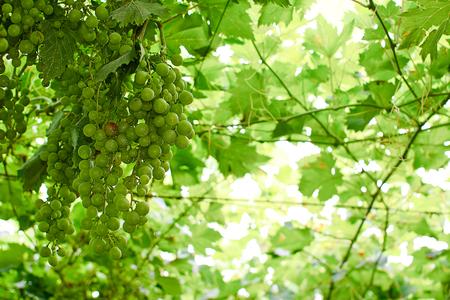 abruzzo: grapes ripening on the canopy, typical Abruzzo