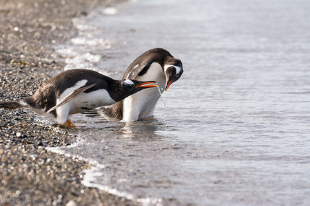 Papua penguin couple at the seaside