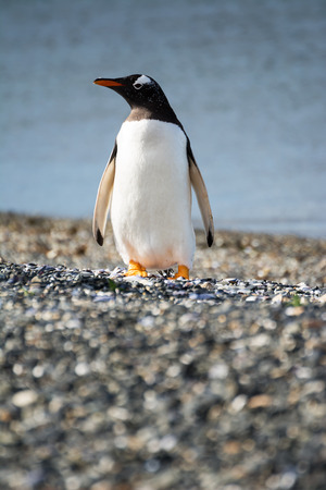 Portrait to Papua penguin on the gravel on the seashore