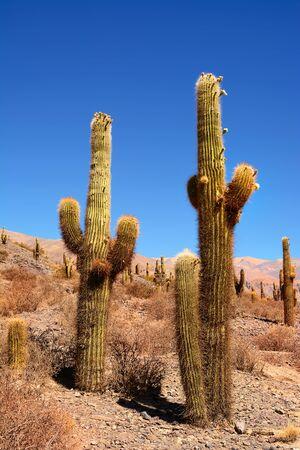 saguaro cactus: Saguaro Cactus on  Ande Mountain