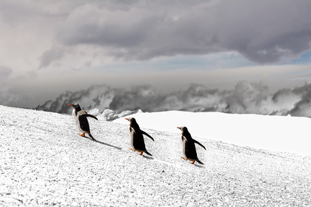 Papua penguin couple walking on hill on the snow