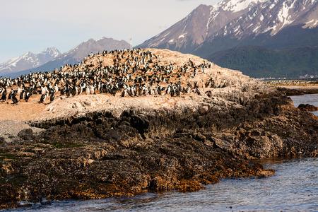 Colony of Cormorants on island on Beagle channel Stock Photo