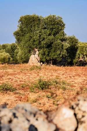 Tree of secular olive in the Puglia countryside